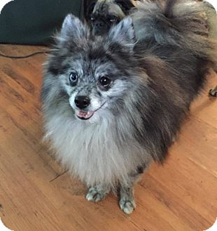 Pomeranian Dog for adoption in Greensboro, Maryland - Chewy