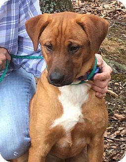 German Shepherd Dog/Labrador Retriever Mix Puppy for adoption in Hillsborough, New Mexico - Roscoe - one gorgeous dog!