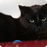 Adopt A Pet :: Ebony (Spayed) - Marietta, OH