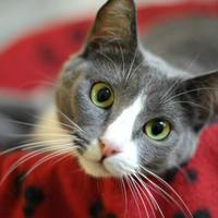 Adopt A Pet :: Savannah - Encinitas, CA