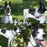 Adopt A Pet :: Moose in CT - East Hartford, CT