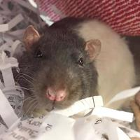 Rat/Rat Mix for adoption in Williamsburg, Virginia - Feta