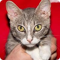 Domestic Shorthair Kitten for adoption in Fernandina Beach, Florida - ARISTA