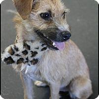 Adopt A Pet :: Dotty - Rockwall, TX