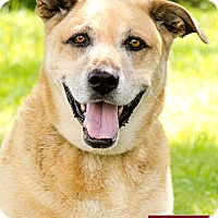 Labrador Retriever/Shepherd (Unknown Type) Mix Dog for adoption in Marina del Rey, California - Duke