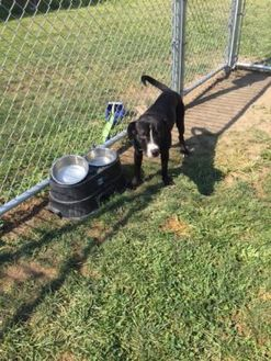 American Staffordshire Terrier Mix Dog for adoption in Danville, Illinois - picasso