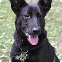 German Shepherd Dog Mix Dog for adoption in Enfield, Connecticut - Sophie