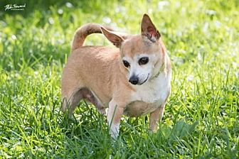 Chihuahua Dog for adoption in Alexandria, Kentucky - Bill Curtis