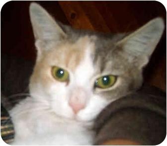 Hemingway/Polydactyl Cat for adoption in Troy, Michigan - Jade