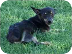 "Chihuahua Mix Dog for adoption in Mesa, Arizona - Mildred ""Millie"""