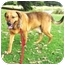 Photo 3 - Labrador Retriever/Hound (Unknown Type) Mix Dog for adoption in Berkeley, California - Sphere