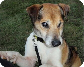 Jack Russell Terrier Mix Dog for adoption in Madison, Wisconsin - Zico