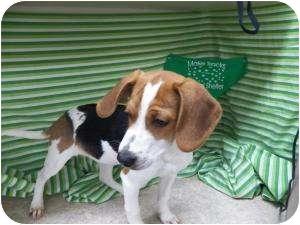 Treeing Walker Coonhound Mix Dog for adoption in Burnsville, North Carolina - Madeline