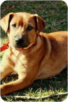 Hound (Unknown Type)/Labrador Retriever Mix Puppy for adoption in Sagaponack, New York - Maggie