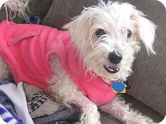 Maltese/Poodle (Miniature) Mix Dog for adoption in Wilmington, Delaware - Precious