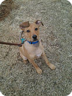 German Shepherd Dog/Basset Hound Mix Puppy for adoption in Alpharetta, Georgia - David Bowie