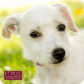 Westie, West Highland White Terrier/Poodle (Miniature) Mix Dog for adoption in Marina del Rey, California - Poppy