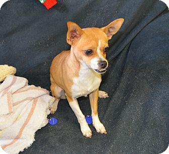 Chihuahua Mix Dog for adoption in Tumwater, Washington - Rhonda