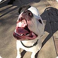 Adopt A Pet :: Ruckus - West Hills, CA