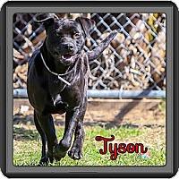 Adopt A Pet :: Tyson - Spring, TX