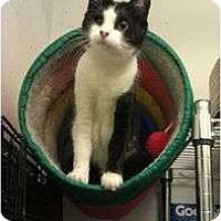 Adopt A Pet :: Socks - Greenville, SC
