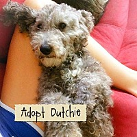 Poodle (Miniature) Dog for adoption in Rochester, New York - Dutchie