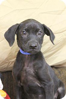 Labrador Retriever/Hound (Unknown Type) Mix Puppy for adoption in Waldorf, Maryland - Rocko