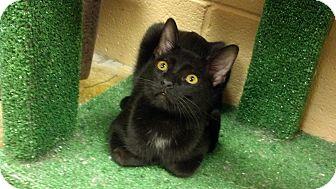 Domestic Shorthair Kitten for adoption in Smithfield, North Carolina - Samantha **SPECIAL ADOPTION FE