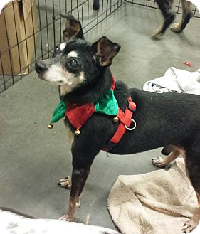 Miniature Pinscher Mix Dog for adoption in Alexis, North Carolina - Toby