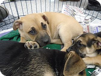 German Shepherd Dog/Bullmastiff Mix Puppy for adoption in San Dimas, California - Amber, Honey, Dottie...