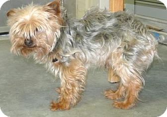 Yorkie, Yorkshire Terrier Mix Dog for adoption in Redmond, Oregon - Snickers