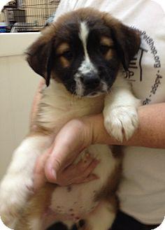 Bernese Mountain Dog/Labrador Retriever Mix Puppy for adoption in Thousand Oaks, California - Everest