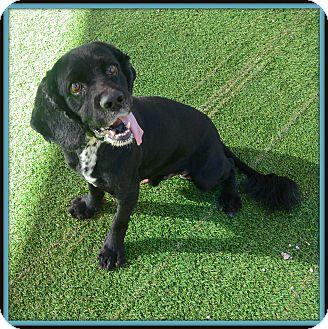 Cocker Spaniel Mix Dog for adoption in Glendale, Arizona - Cole