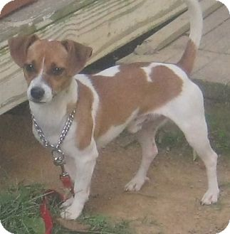 Jack Russell Terrier/Parson Russell Terrier Mix Dog for adoption in Hillsboro, Ohio - Buster