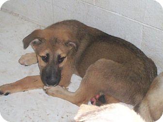 St. Bernard/Shepherd (Unknown Type) Mix Puppy for adoption in Newburgh, Indiana - Humphrey