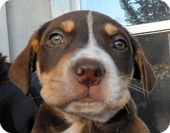 Labrador Retriever/Australian Shepherd Mix Puppy for adoption in Oakley, California - Baby Almond Joy
