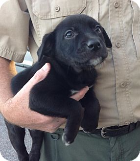 Labrador Retriever/Retriever (Unknown Type) Mix Puppy for adoption in Olive Branch, Mississippi - Penelope