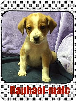 Feist/Jack Russell Terrier Mix Puppy for adoption in Washington, D.C. - Ralphael (POM)
