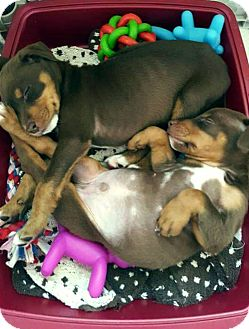 Doberman Pinscher Mix Puppy for adoption in Mary Esther, Florida - Dobie pups