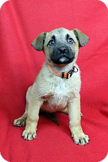 Shepherd (Unknown Type) Mix Puppy for adoption in Westminster, Colorado - Kate