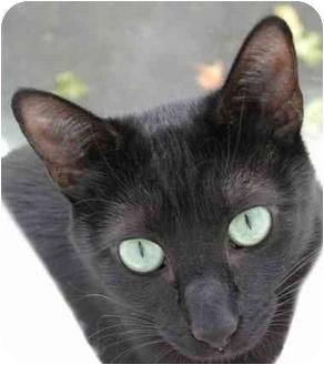 Oriental Cat for adoption in South Lake Tahoe, California - Raven