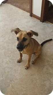 German Shepherd Dog/Golden Retriever Mix Puppy for adoption in knoxville, Tennessee - ACE