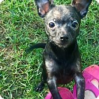 Adopt A Pet :: Hazelnut - Shawnee Mission, KS
