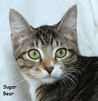 Domestic Mediumhair Kitten for adoption in Sacramento, California - Sugar Bear B