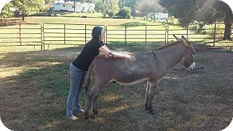Donkey/Mule/Burro/Hinny Mix for adoption in Loudon, Tennessee - Dorito