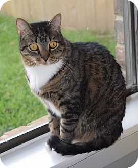 Domestic Shorthair Cat for adoption in Houston, Texas - Gilly (declawed)