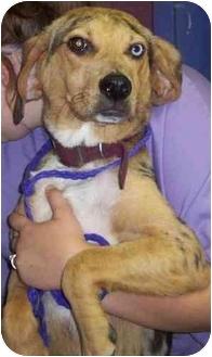Catahoula Leopard Dog/Hound (Unknown Type) Mix Puppy for adoption in Buffalo, New York - Trevor: Blue Eye & Blue Merle