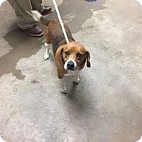 Adopt A Pet :: Baxter - Greenville, SC