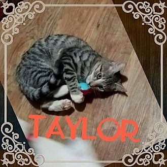 Domestic Shorthair Kitten for adoption in Youngstown, Ohio - Taylor