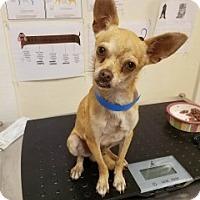 Adopt A Pet :: Conan - Laredo, TX